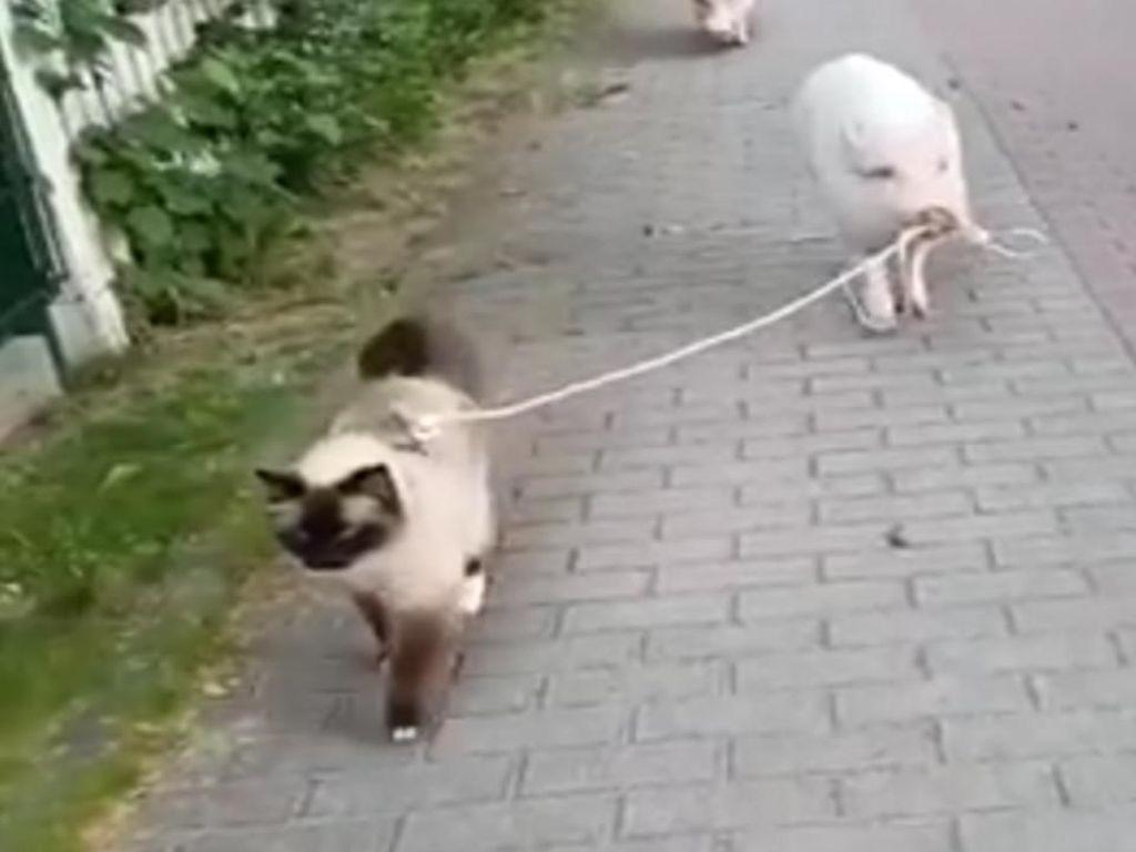 Akrabnya Babi dan Kucing Jalan-jalan Sore