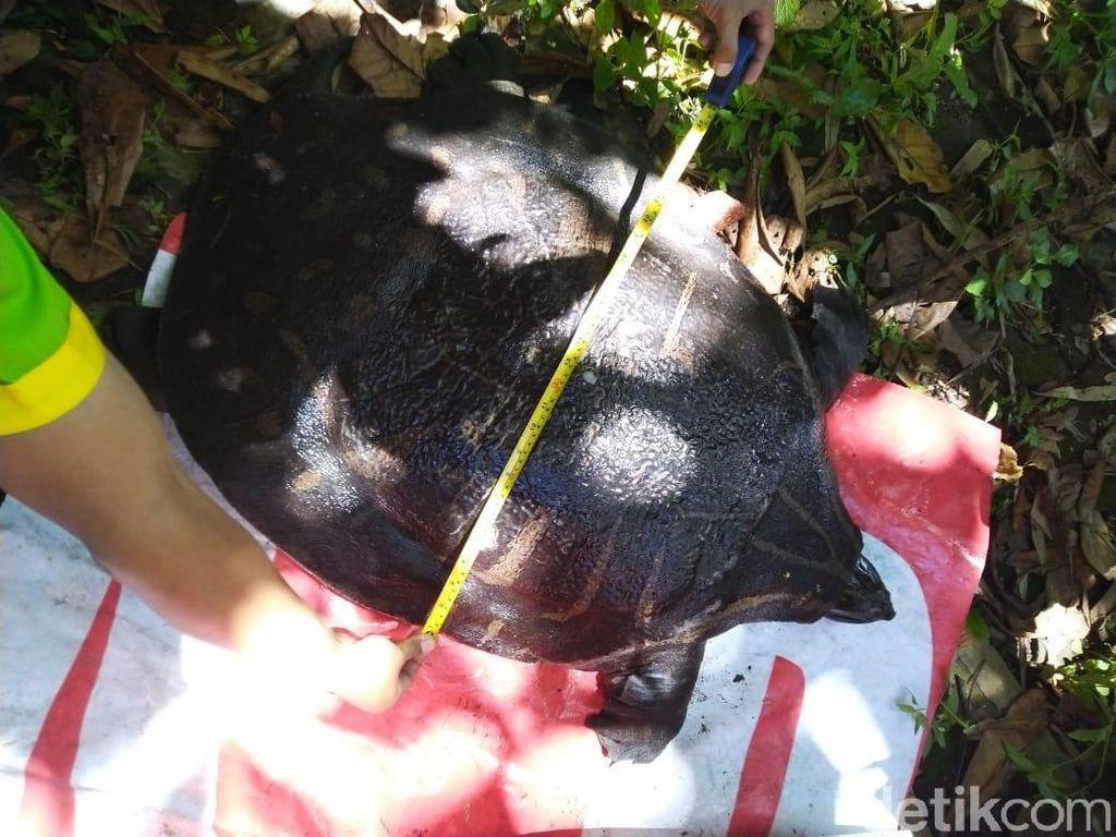 Seekor Labi-labi Langka Nyaris Punah Ditemukan di Sungai Sleman