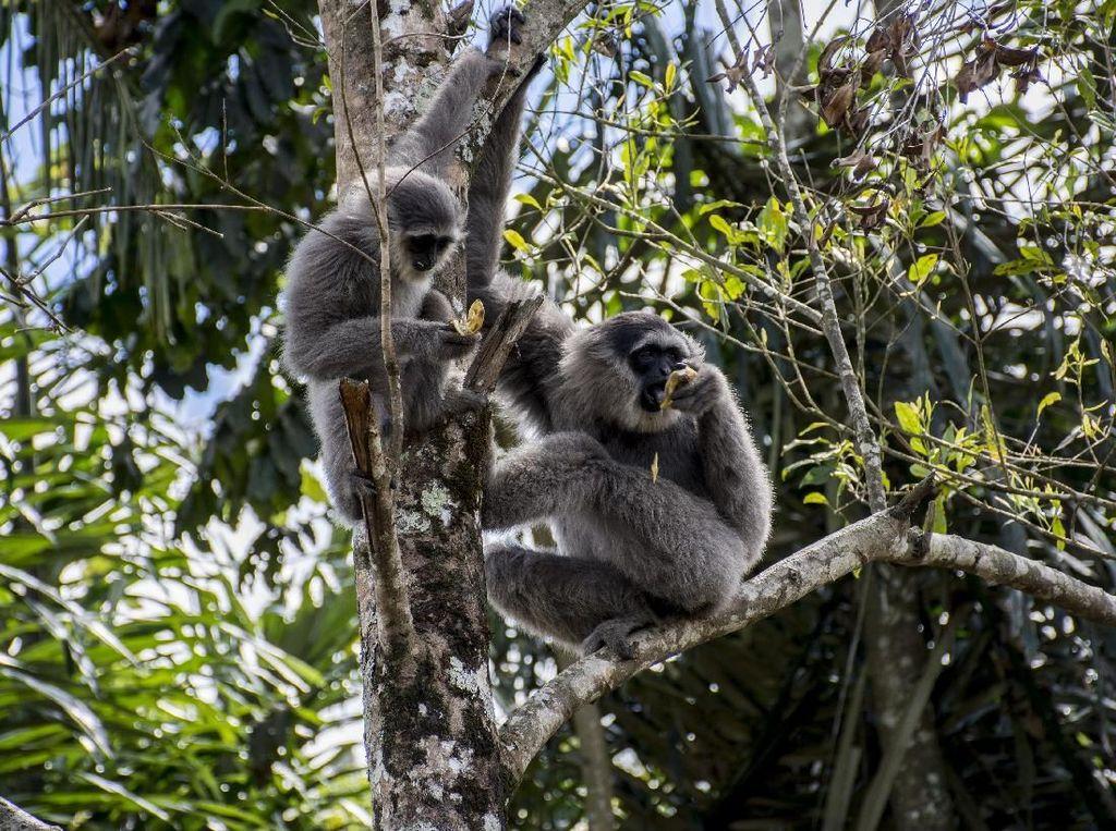 Melestarikan Owa Jawa, Hewan Langka yang Terancam Punah
