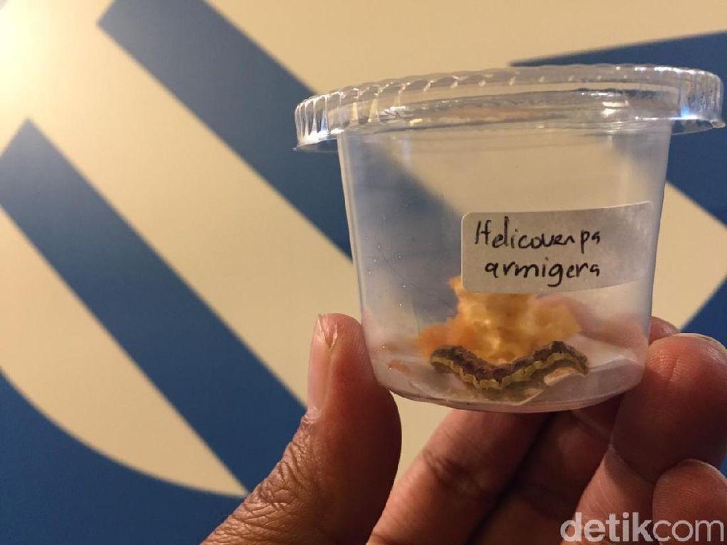 Waspada! Hama Ulat Fall Armyworm Asal AS Siap Serang Indonesia