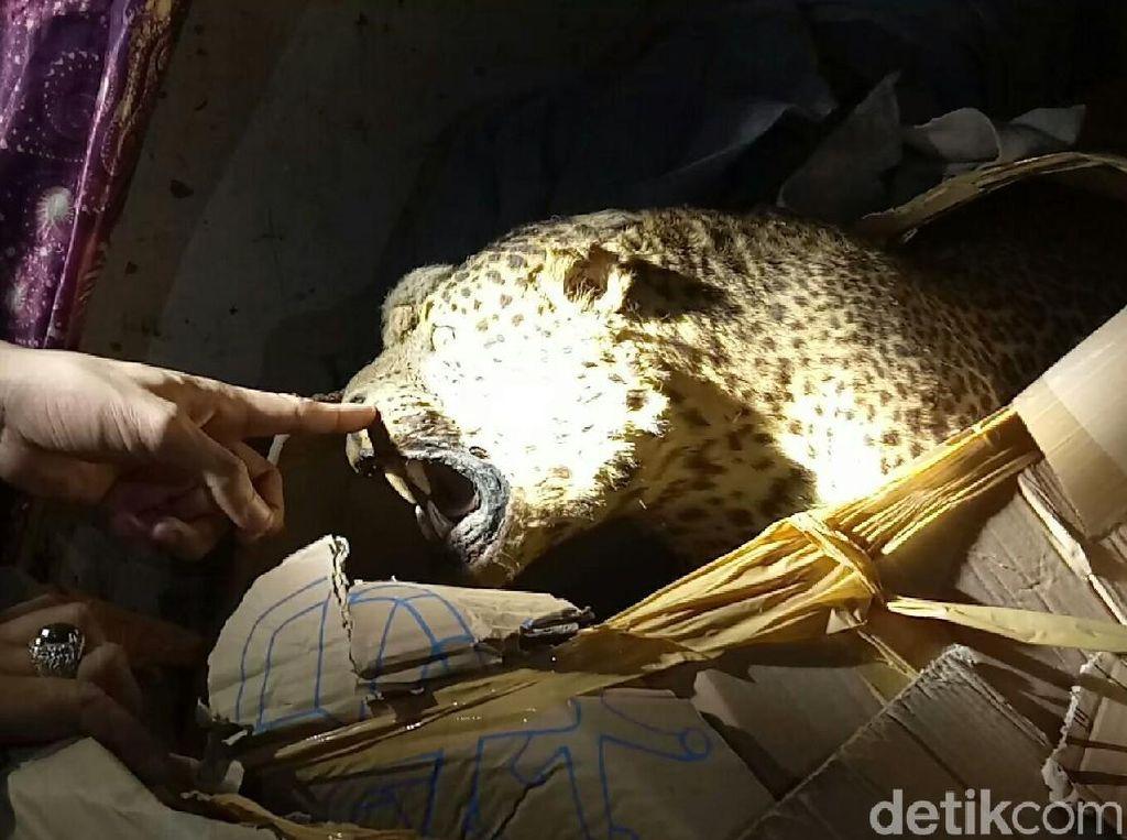 Penyelundupan Macan Tutul dan Cendrawasih Terungkap!