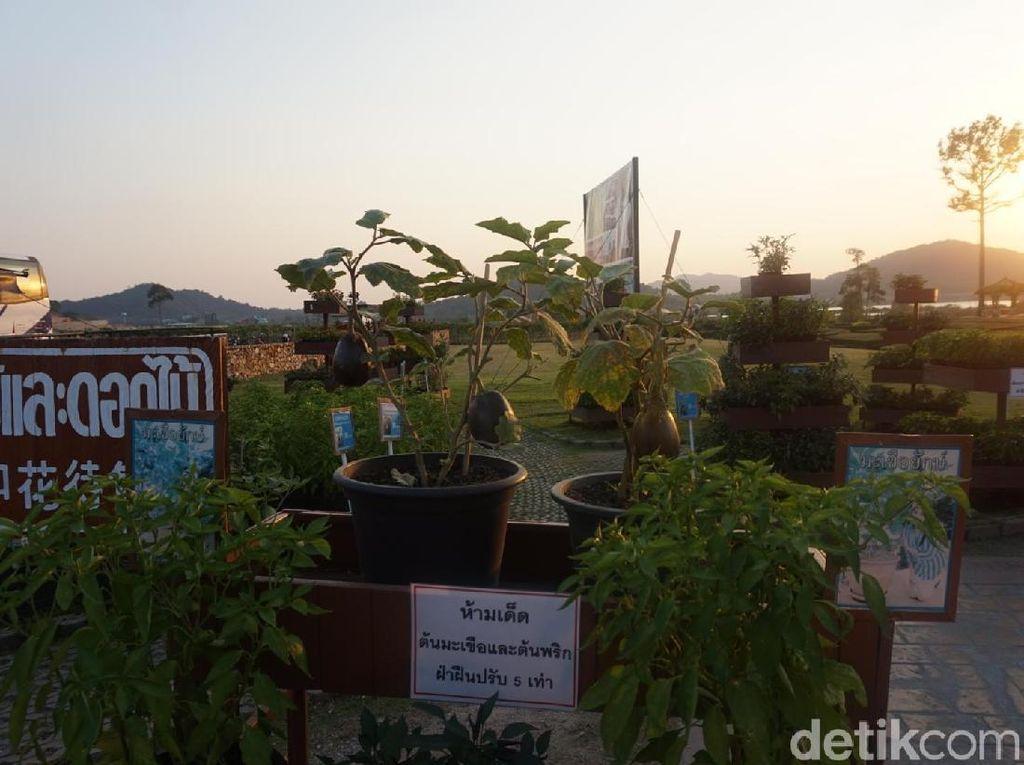 Foto: Menikmati Valentine di Perkebunan Anggur Thailand
