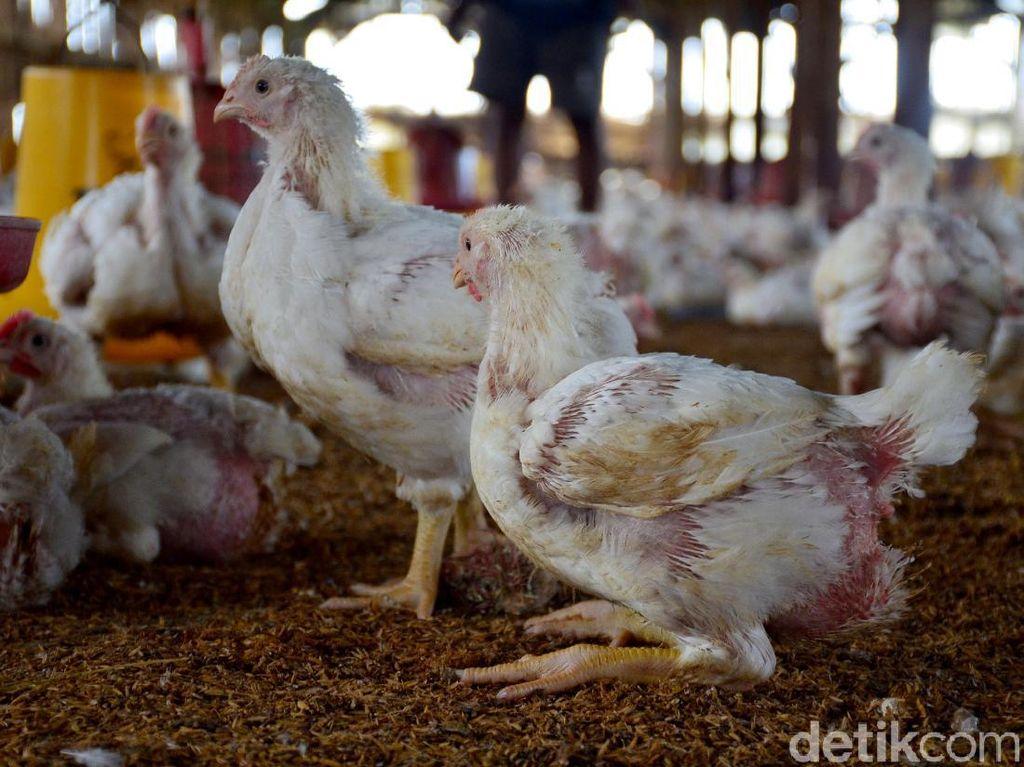 Dapat Aduan Harga Ayam Anjlok, Ini Langkah Kemendag