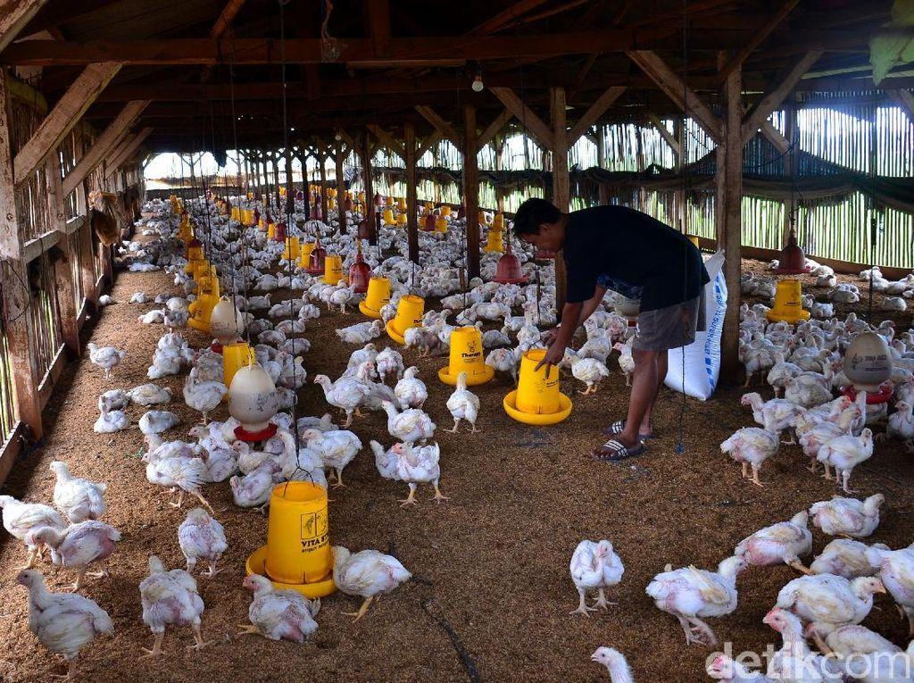 Kementan Tuding Ada Pemain yang Bikin Harga Ayam Anjlok