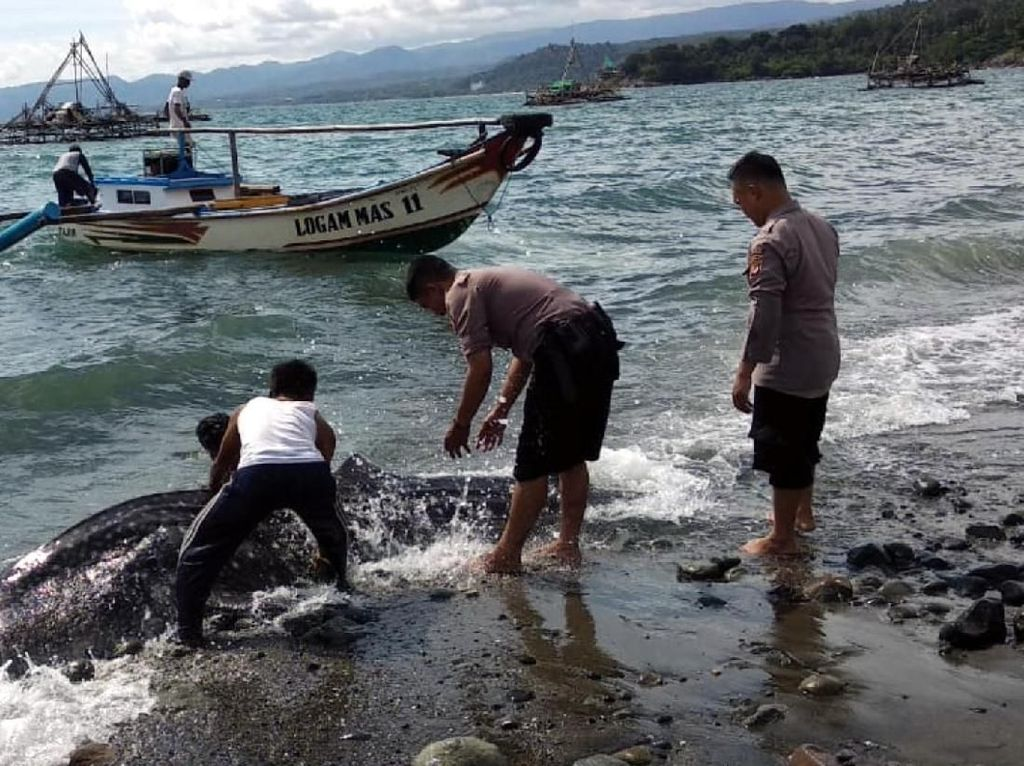 Bangkai Hiu Terdampar di Palabuhanratu Sukabumi