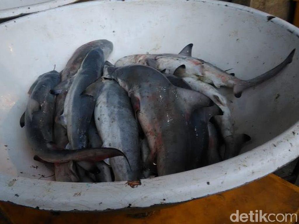 Hiu-hiu Anakan Dijual di Muara Angke, Bagaimana Nasibnya di Lautan?