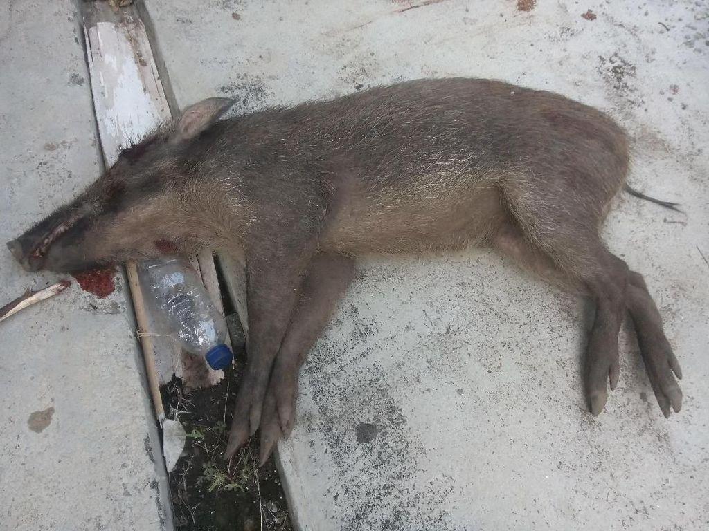 Disangka Siluman, Babi di Pangandaran Diburu Warga Sekampung
