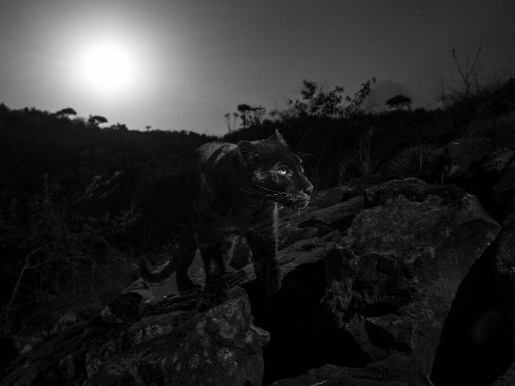 Video Black Panther Tertangkap Kamera di Kenya
