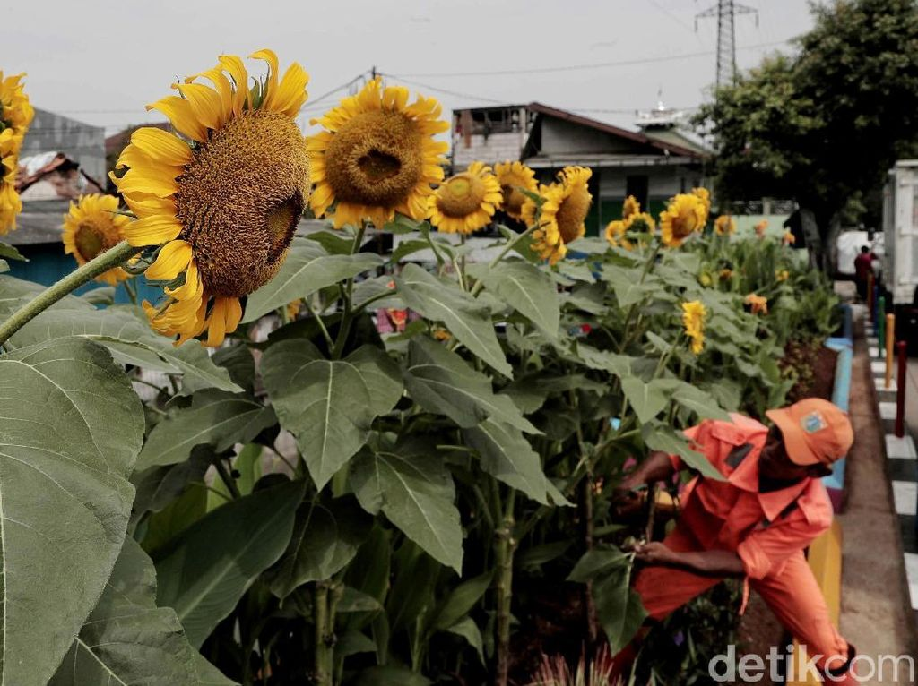 Taman Bunga Matahari Percantik Kanal Banjir Barat