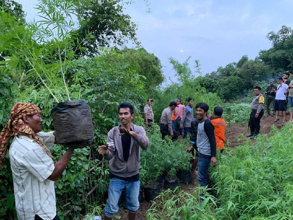Warga Kaget Ada 1,5 Hektar Ladang Ganja di Lahan Perhutani