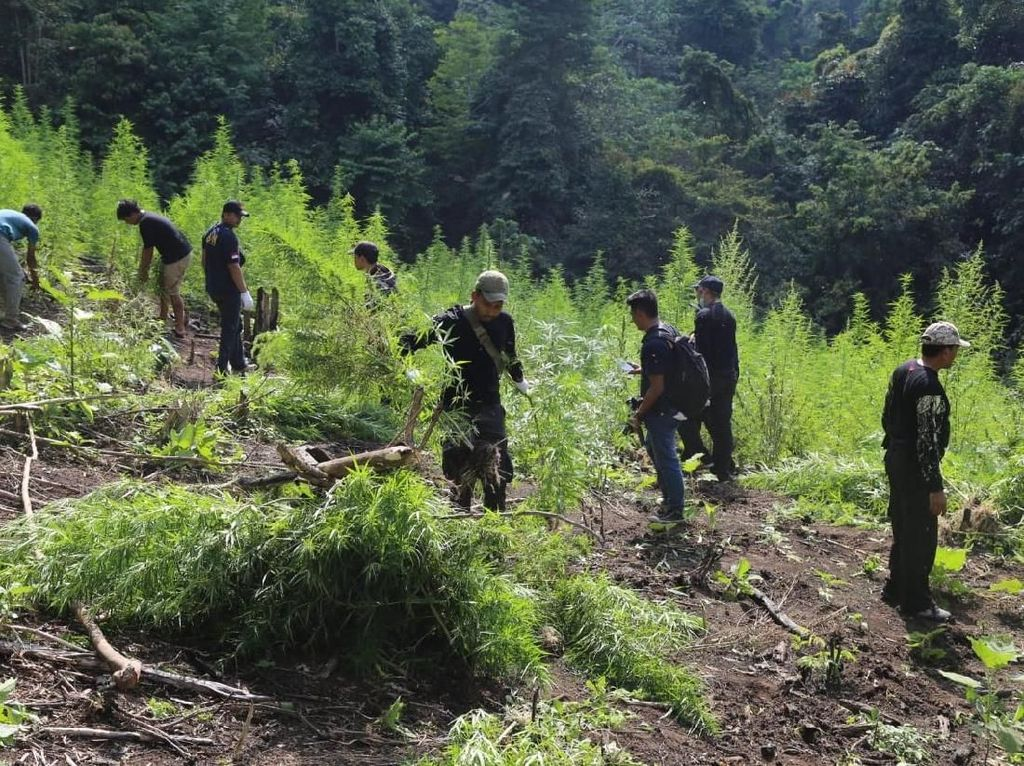BNN Musnahkan 15 Ton Ganja Siap Panen di Aceh Besar