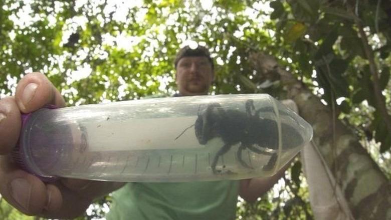 Dikira Punah, Lebah Terbesar di Dunia Ditemukan Kembali di Maluku