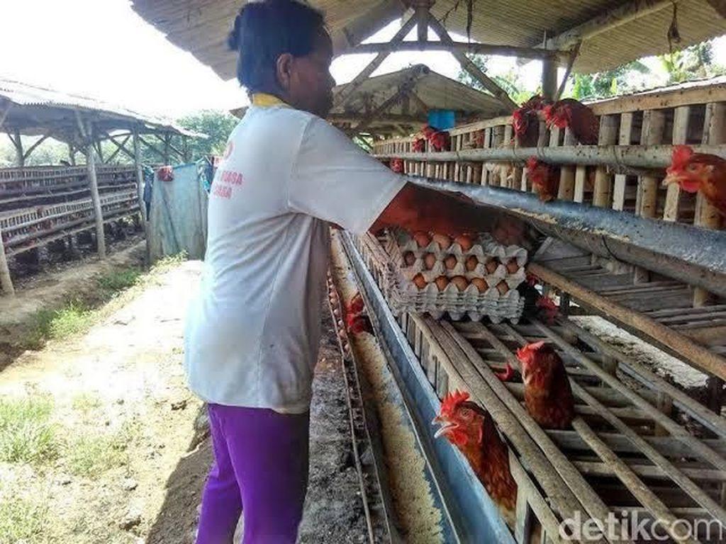 Harga Anjlok, Peternak Ayam Solo Akan Bagikan Ayam Gratis Besok