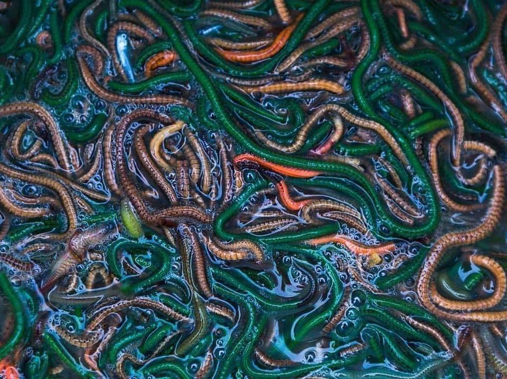 Ini Dia Nyale, Cacing Laut yang Gurih Enak Santapan Khas Suku Sasak