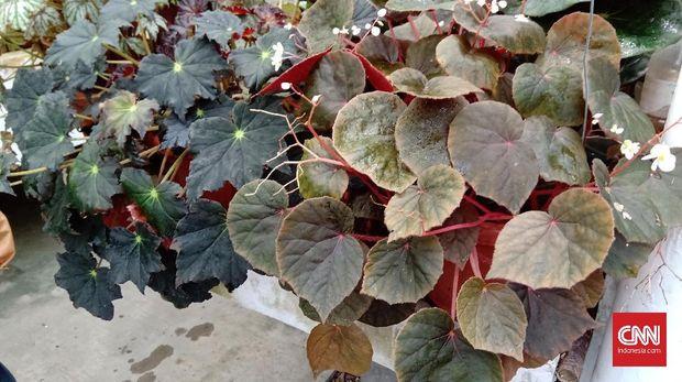 Indonesia Punya Tanaman Hias Begonia Terlengkap, Bisa Dijual Rp100 Ribu