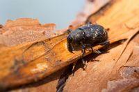 Tiap Hari Wanita Ini Makan Kumbang Hidup untuk Cegah Kanker