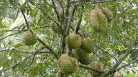 Asyiknya Makan Durian Kinanti dan Kampiun di Atas Perbukitan Karangmangu