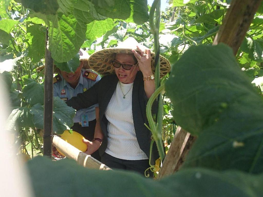 Warga Binaan Lapas Cilegon Panen Melon Madu 4 Ton