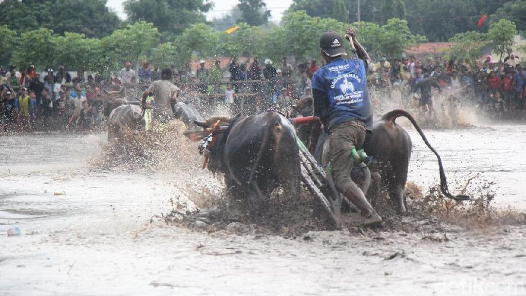 Foto: Bukan Madura, Ini Karapan Sapi di Probolinggo yang Juga Seru!