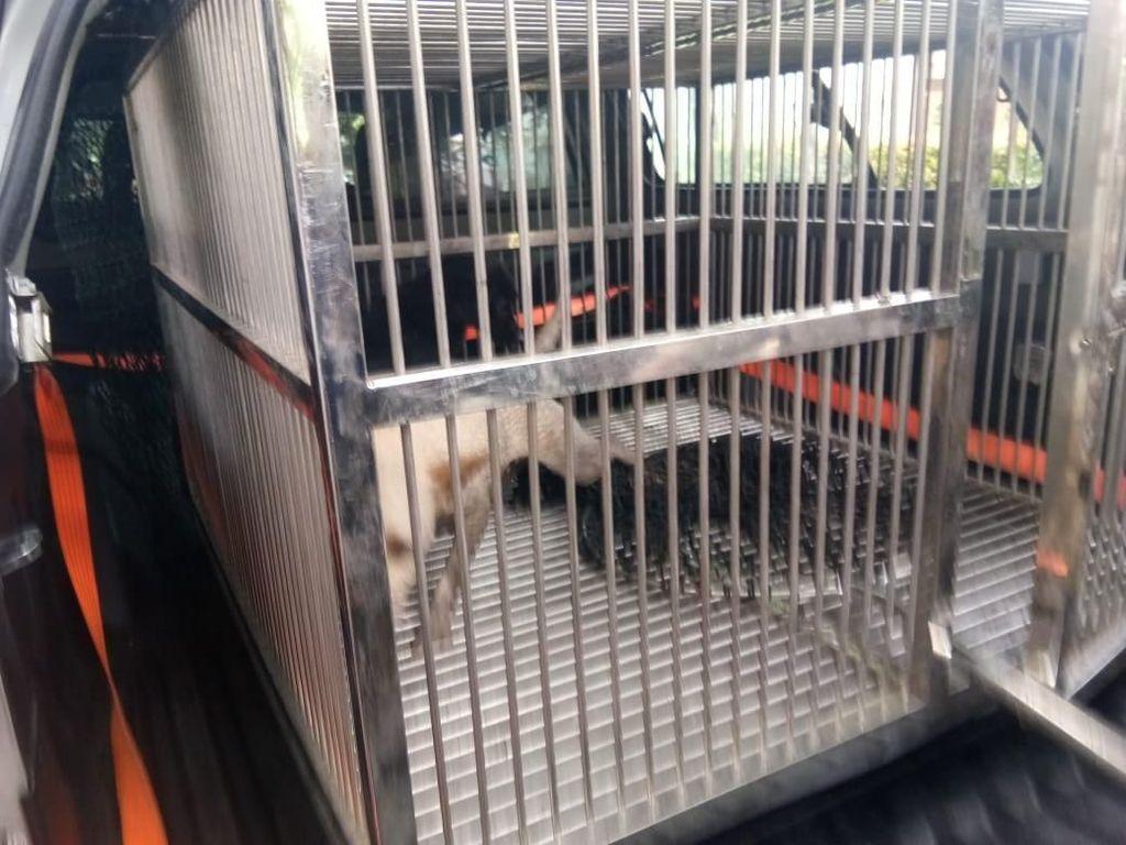 Satpol PP Tangkap 2 Anjing Liar yang Gigit Warga di Duren Sawit