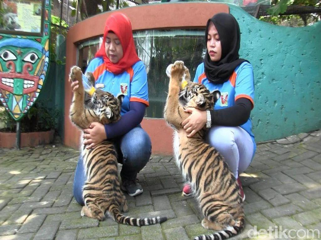 Dua Bayi Harimau Sumatra Sapa Pengunjung Maharani Zoo