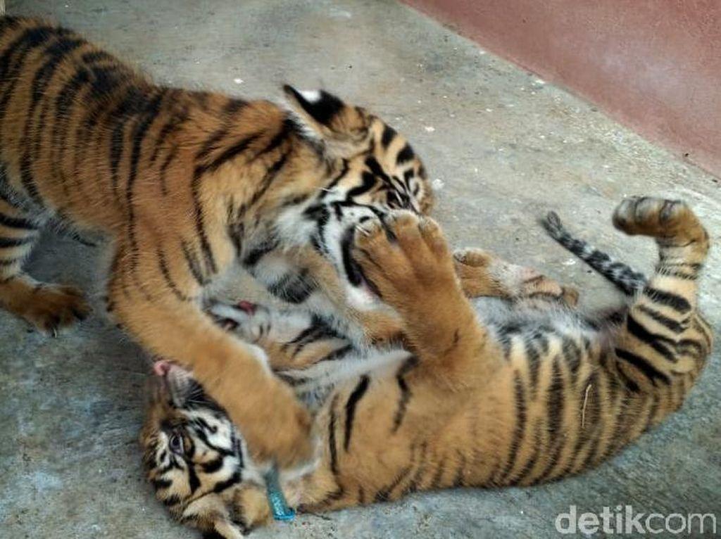 Lucu! Saat 2 Harimau Lepas dan Sapa Pengunjung