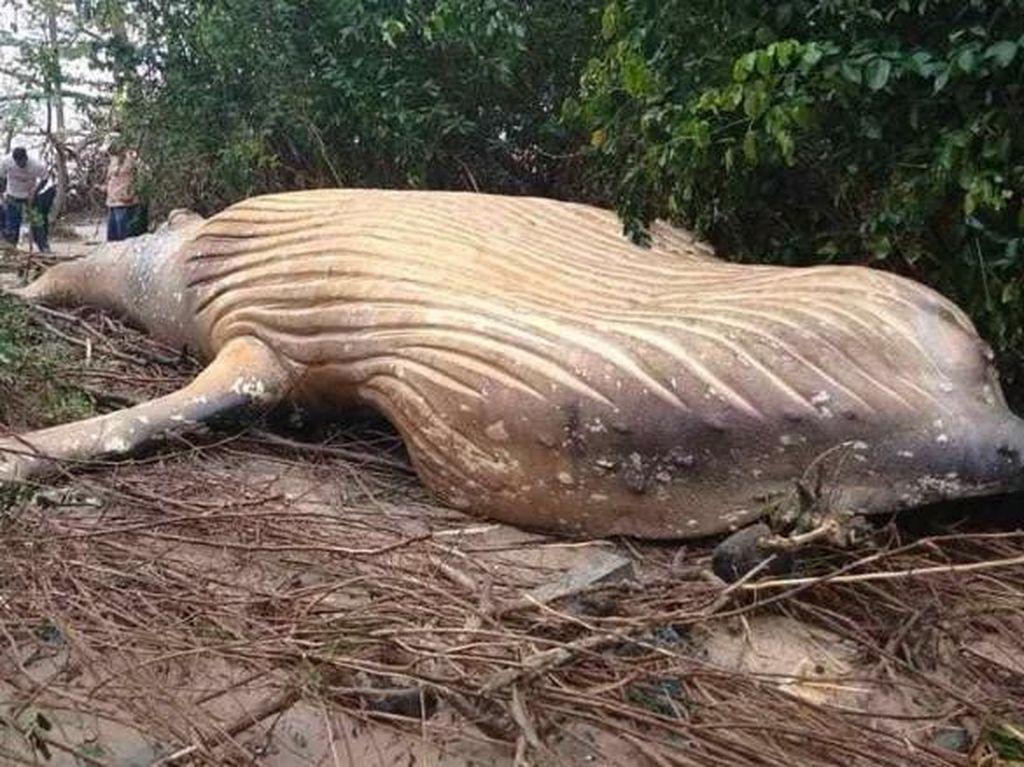 Langka! Bangkai Paus 7,9 Meter Ditemukan di Hutan Mangrove Brasil