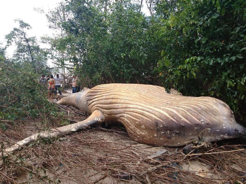 Paus Bungkuk Sepanjang 11 Meter Terdampar di Hutan Amazon
