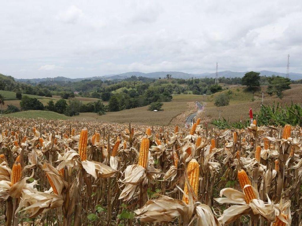 73.000 Ton Jagung Impor dari Brasil Masuk RI