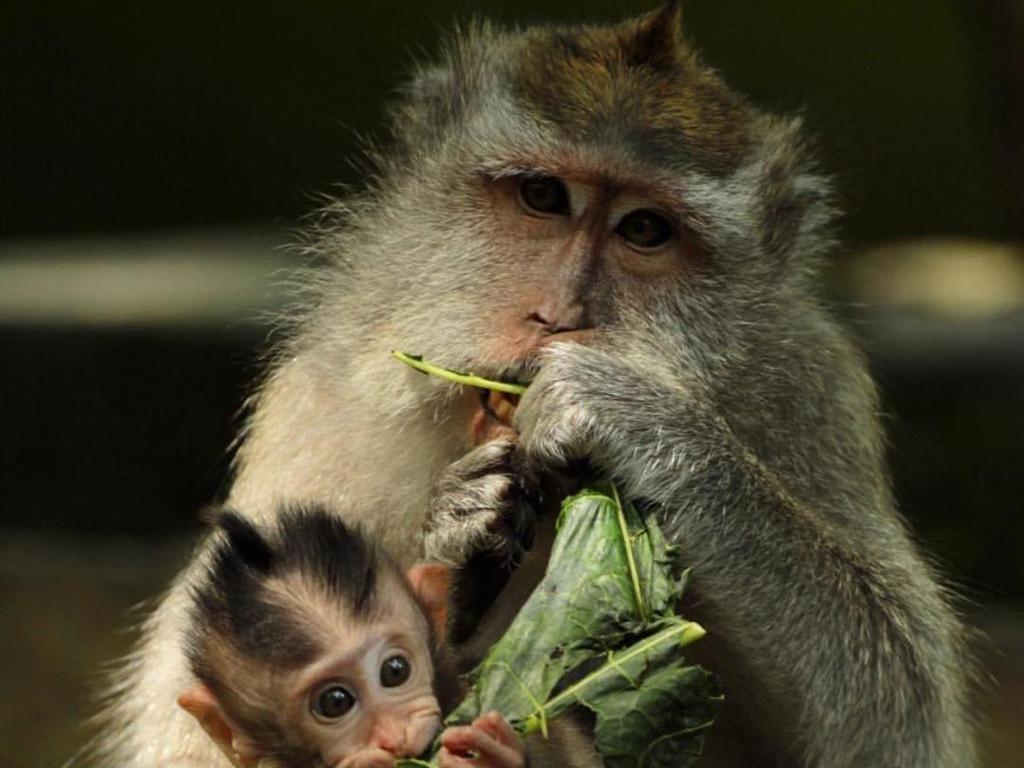 Kawanan Monyet Serbu Perkampungan di Tapanuli Sumut, Warga Ketakutan