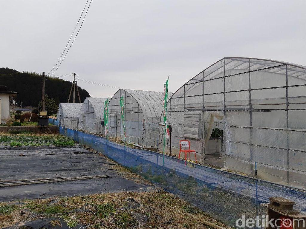 Wisata Petik Stroberi di Jepang, Ini Tempatnya