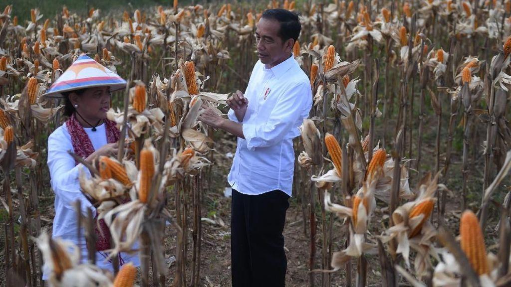 Momen Jokowi dan Ibu Negara Memanen Jagung di Gorontalo