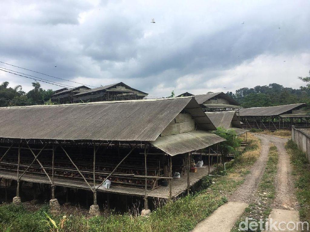 Jejaring Peternak China di Kawasan Gunung Padang