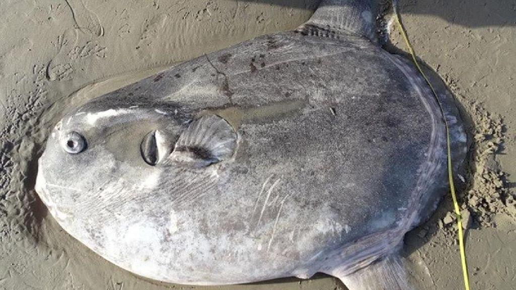 Misteri Ikan Jumbo yang Terdampar di Pantai California