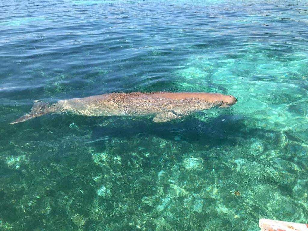 Persahabatan Manusia dengan Ikan Duyung Jadi Atraksi Wisata di Alor