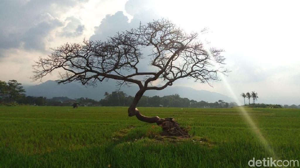Potret Destinasi Pohon Pengantin di Salatiga