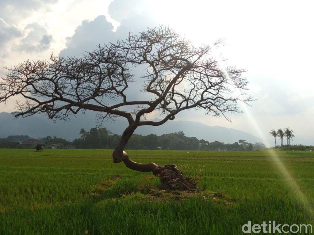 Kisah Pohon Pengantin di Salatiga