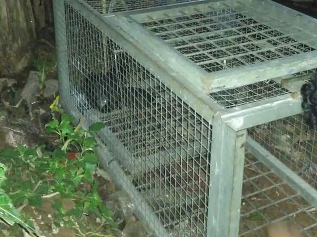 Macan Tutul Mangsa Ternak, Warga Kabupaten Serang Panik