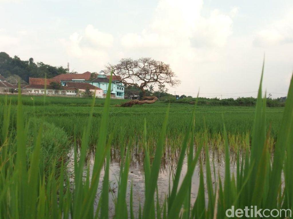Cerita Warga Desa di Kalsel yang Sulap Rawa Jadi Sawah