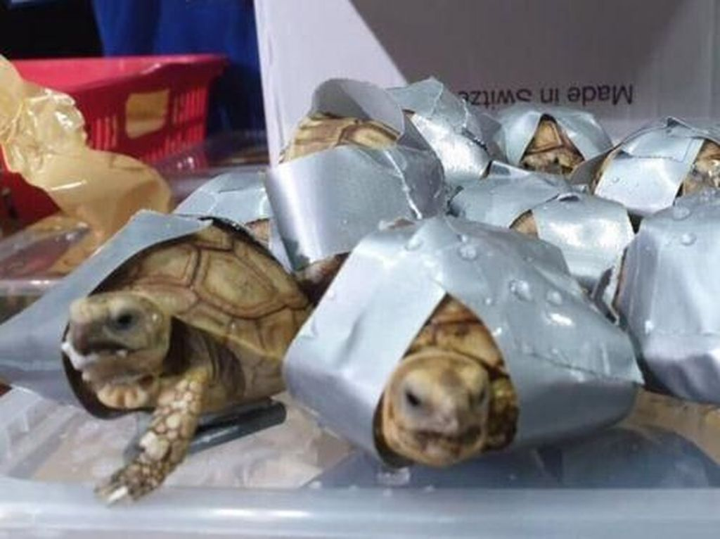 Dianggap Berkhasiat, 1.500 Kura-kura Diikat Selotip di Bagasi Bandara Manila