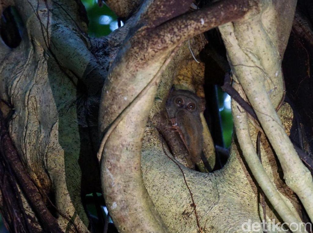 Berburu Jejak Tarsius di Pedalaman Hutan Tangkoko
