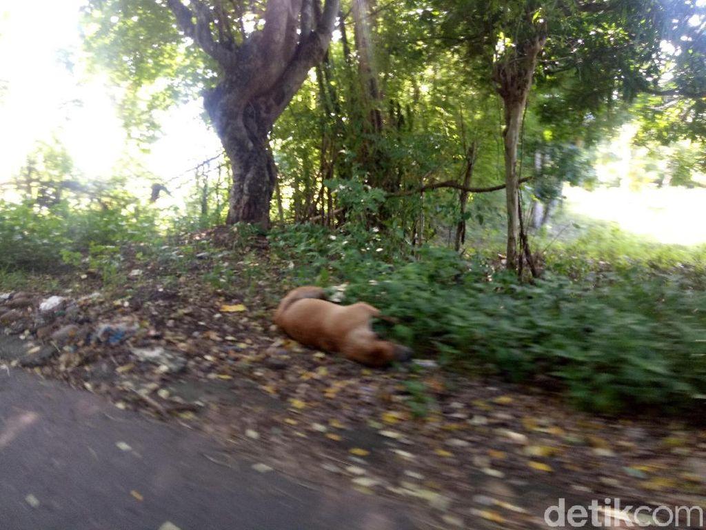Warga Dompu NTB Keluhkan Bangkai Anjing Rabies di Jalanan