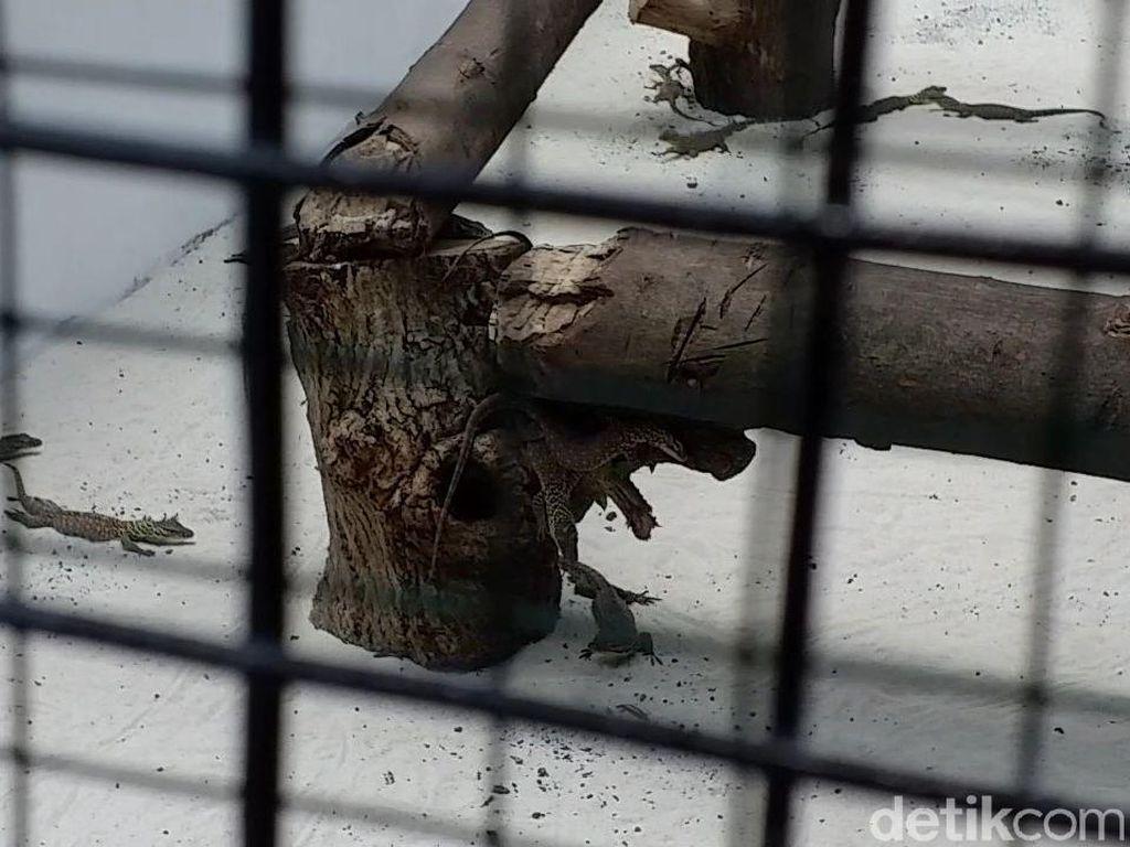 Rekor! 74 Anak Komodo Lahir di Kebun Binatang Surabaya