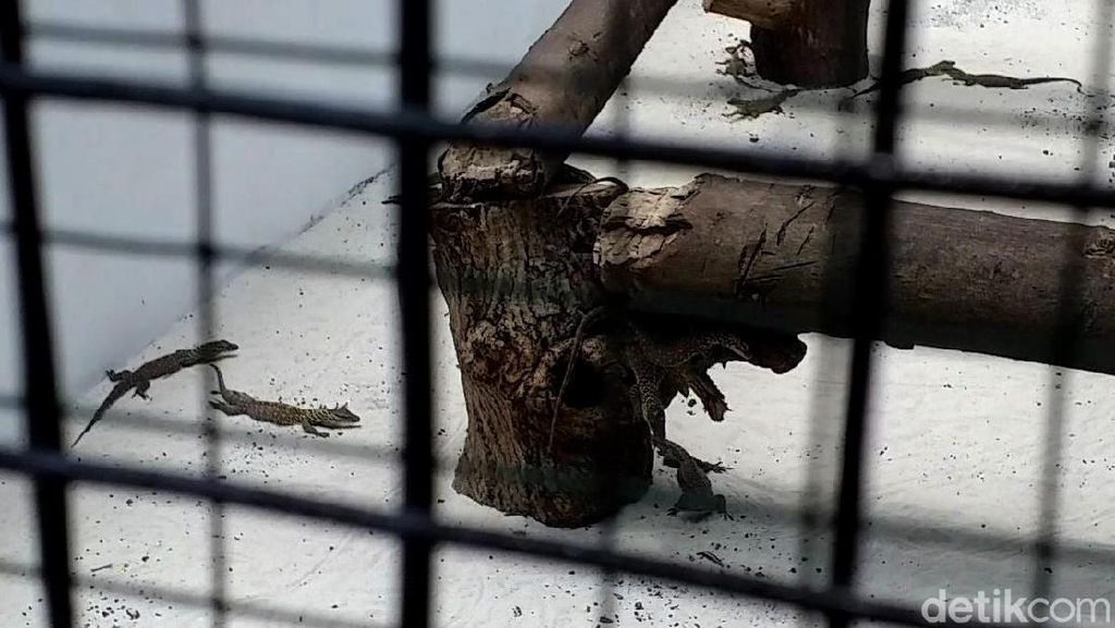 Kebun Binatang Surabaya Tambah Koleksi 74 Ekor Anak Komodo
