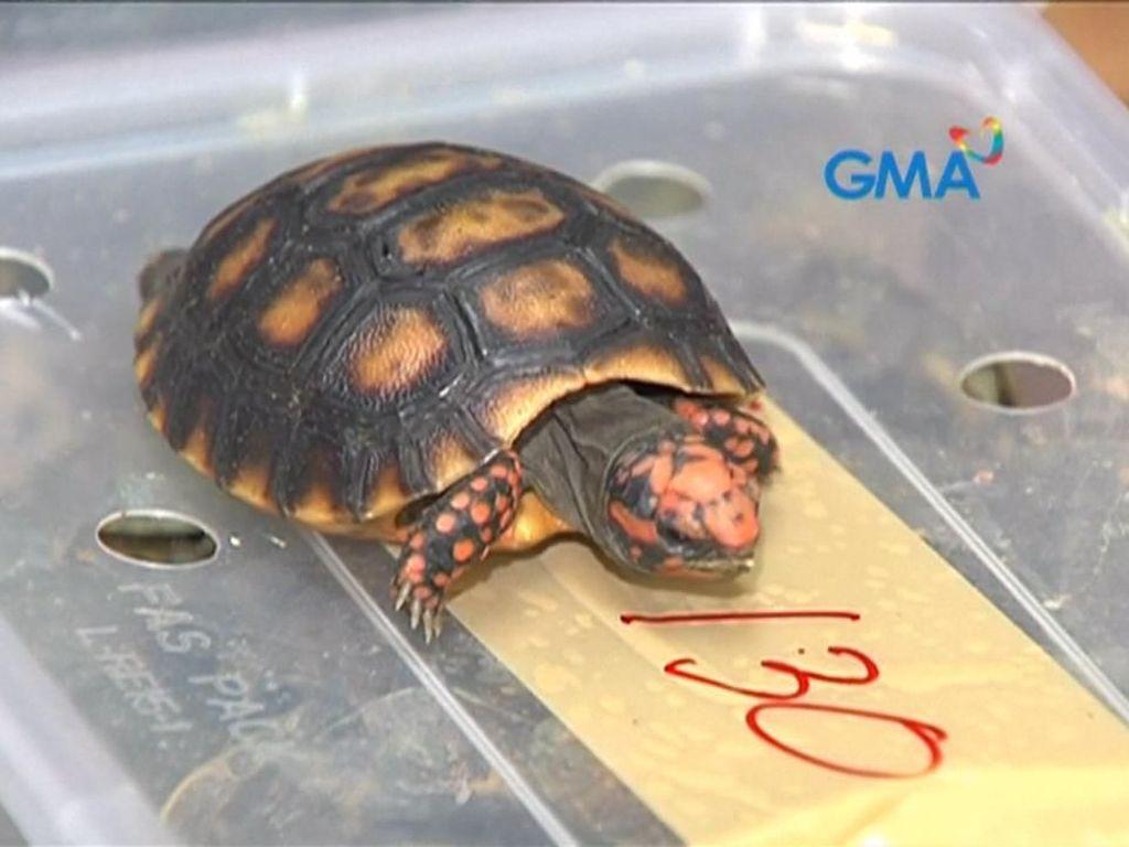 Filipina Ungkap Penyelundupan Ribuan Kura-kura Langka