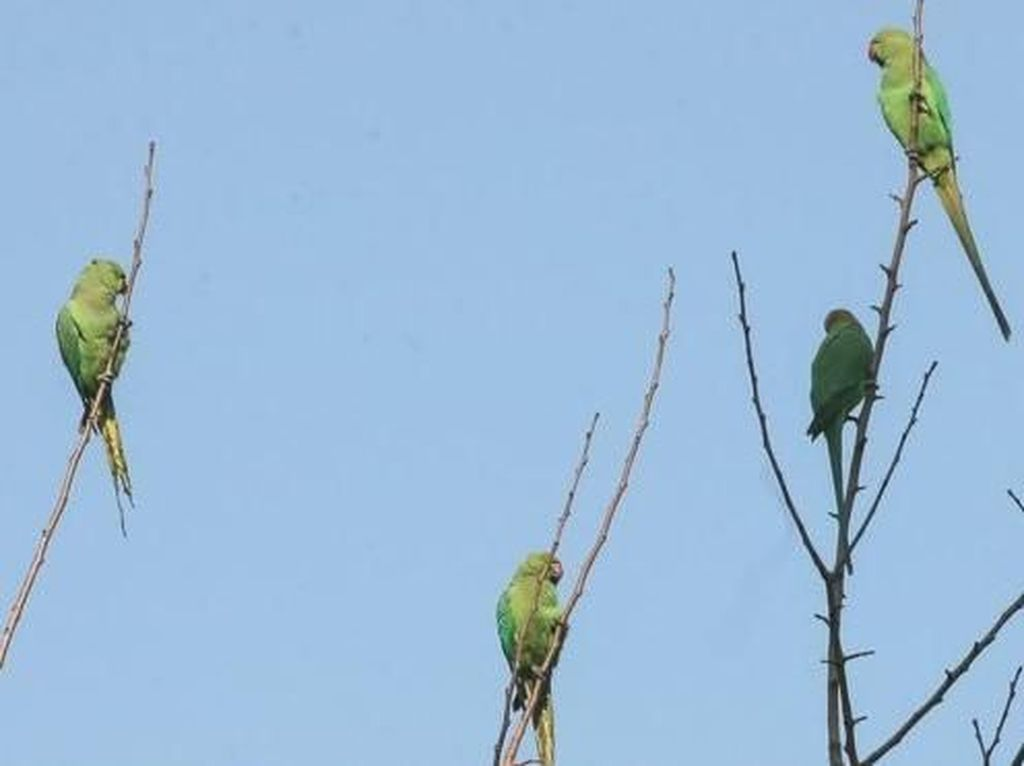 Diduga Kecanduan, Burung Kakatua Jadi Hama Petani Candu India