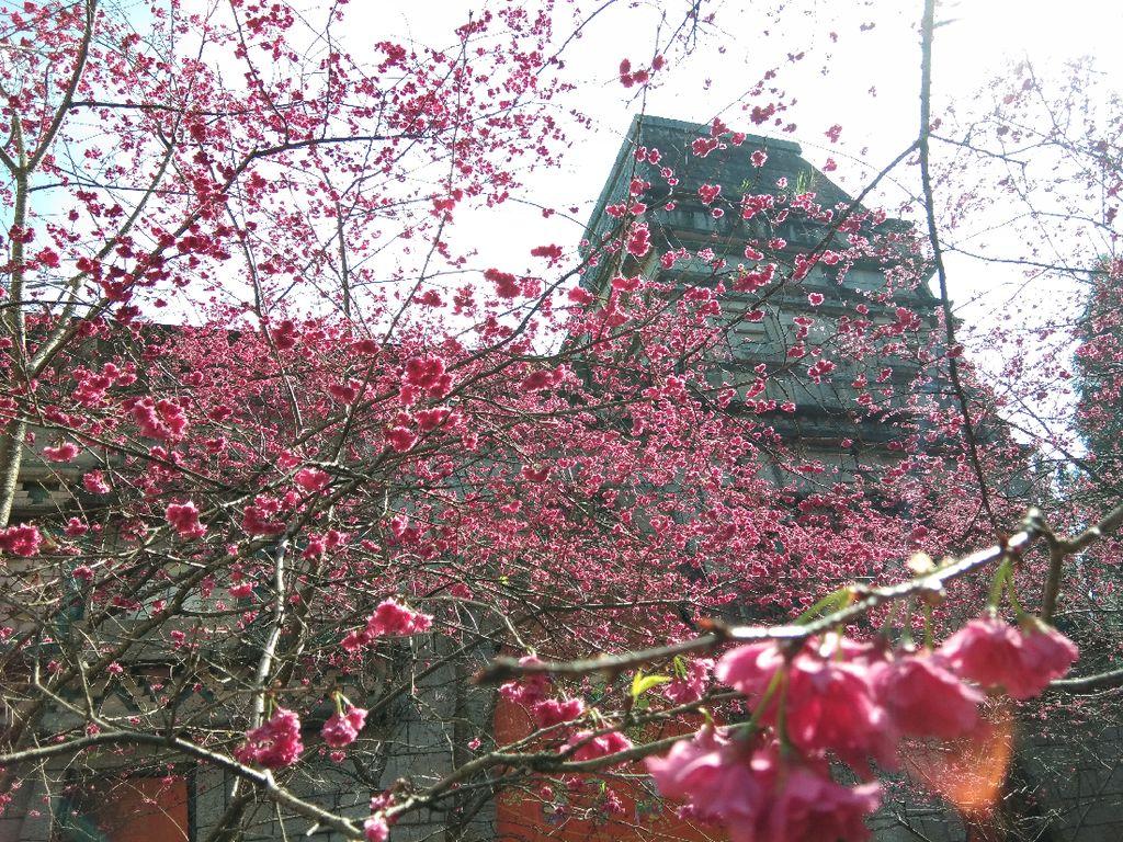 Selain Jepang, Taiwan Bisa Jadi Tempat Terbaik Menikmati Sakura