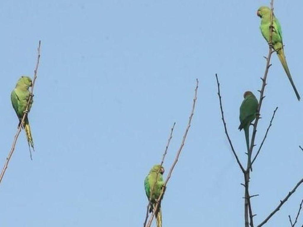 Burung Beo Pecandu Opium Buat Kegaduhan di India