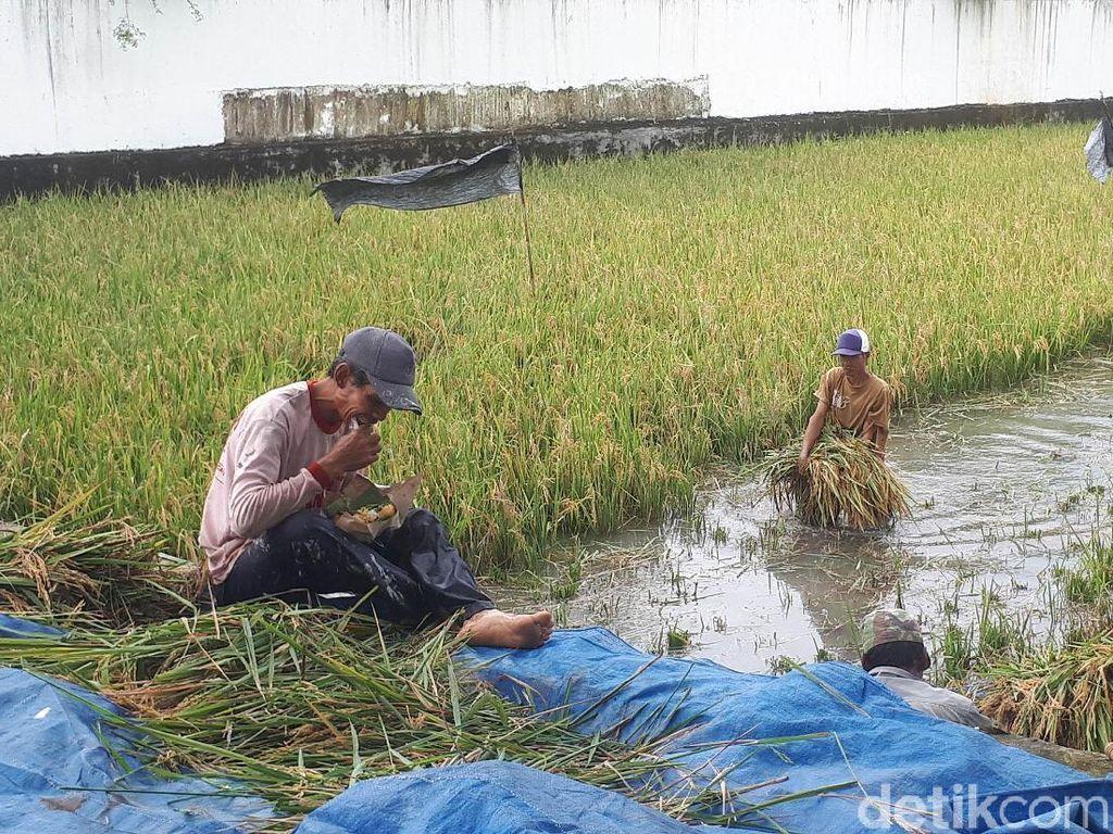 Sawah Terendam Banjir, Dinas Pertanian: Tak Pengaruhi Stok Beras