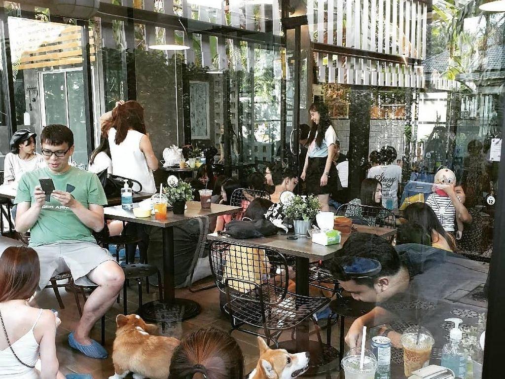 Di Kafe Ini Bisa Makan Sambil Bermain dengan 12 Ekor Anjing Corgis